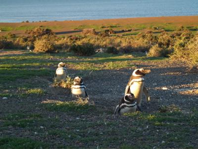 Penguins evening
