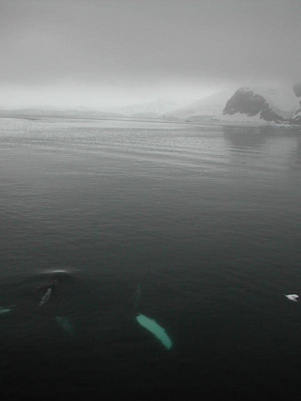 humpbacks.jpg