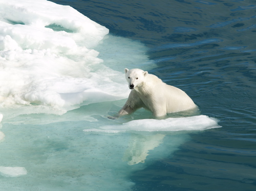 polar-bear-norway